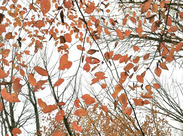 Gold leaves, gray sky (digital edit)