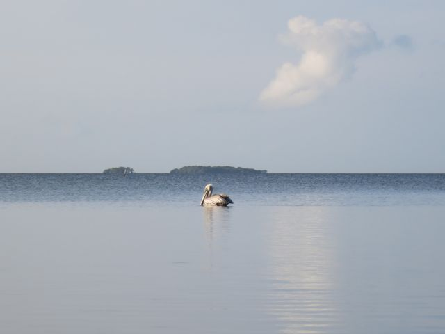 peaceful pelican